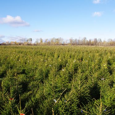 Spruce plantations, planting of Christmas spruces, growing of spruces, spruce maintenance, spruce sales
